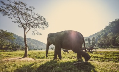 elephants in Thailand