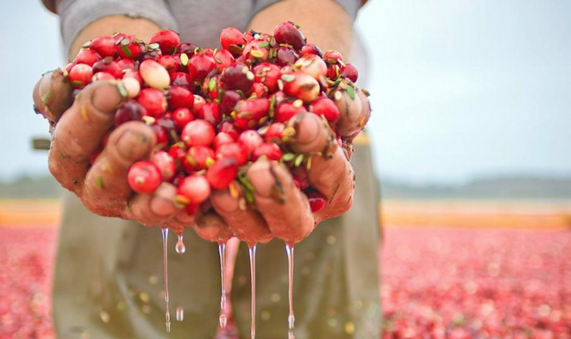 person holding cranberries in hands in bog