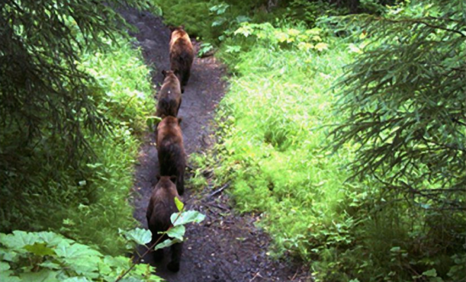 bears single file on rover's run trail in Anchorage, Alaska