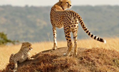 African Cheetahs (Acinonyx jubatus) on the Masai Mara National Reserve safari in southwestern Kenya