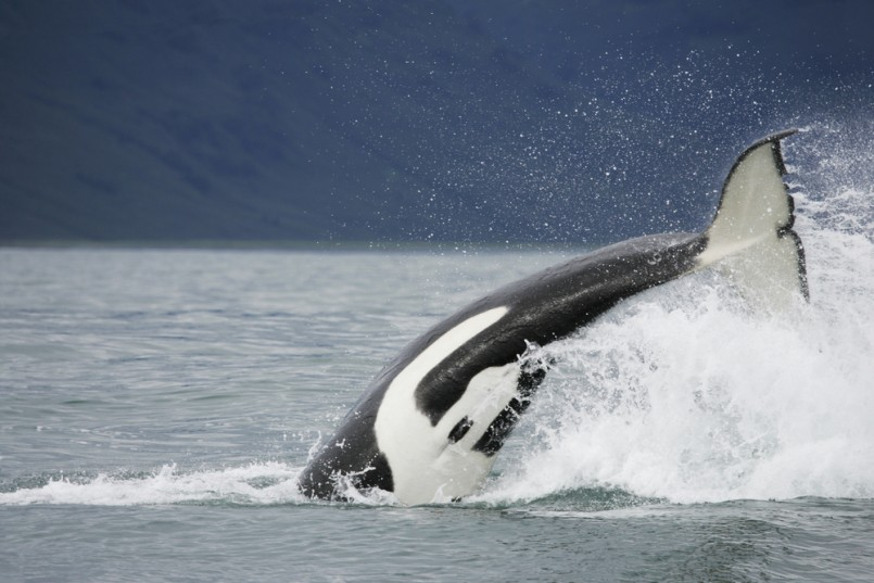 Killer whale in the wild hunting on salmon near in Northwest Pacific, Kamchatka