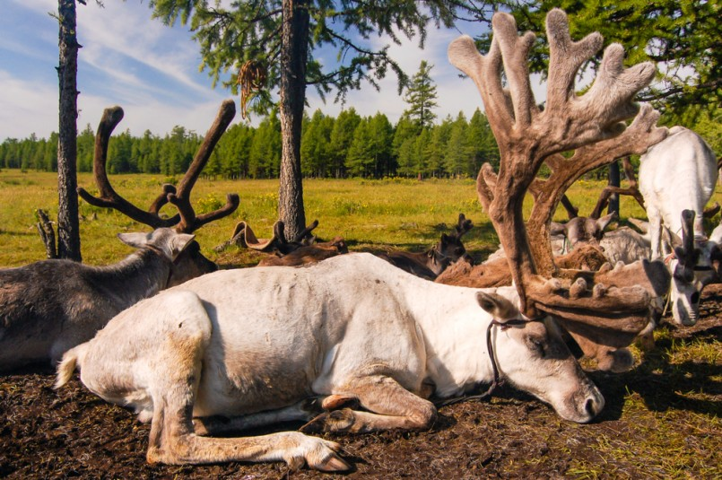 Tethered reindeer belonging to Mongolian nomads in northern Mongolia