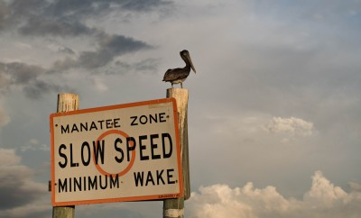 A Pelican Sitting on a Manatee Zone Sign