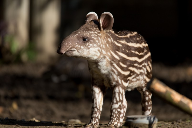 small stripped baby of the endangered South American tapir