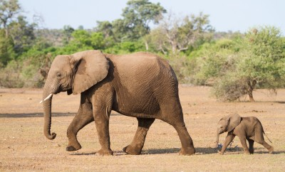 A baby african elephant calf following its mother