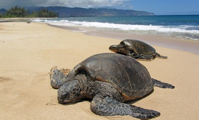 Two turtles in the sand in a beach in Hawaii