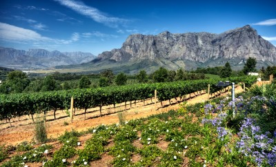 View across vineyards of the Stellenbosch district with the Simonsberg mountain in the background , Western Cape Province, South Africa