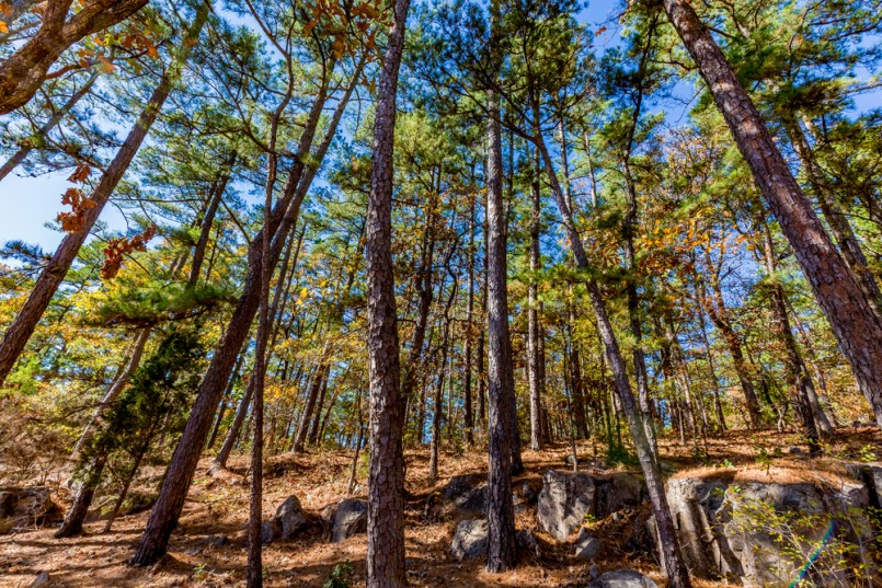 An Interesting Stand of Autumn Trees at Robbers Cave State Park in Oklahoma