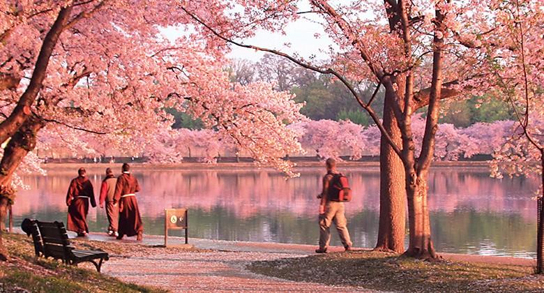 washington cherry blossom