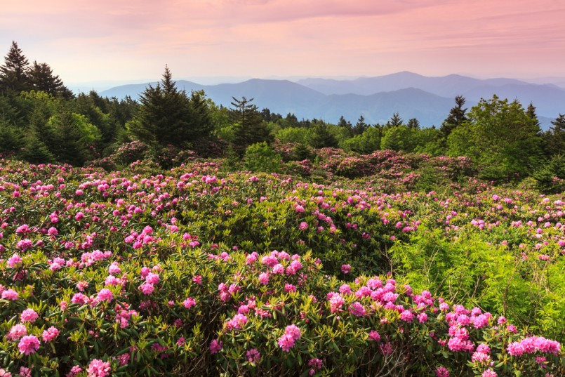 Wild pink catawba rhododendron at Roan Mountain State Park in spring bloom near the border of North Carolina and Tennessee at sunrise