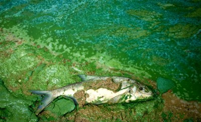 dead wild fish in polluted water in lake, nature series