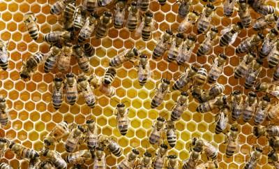 Hundreds of honeybees on a frame.