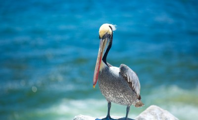 pelican . bird living on the ocean. America