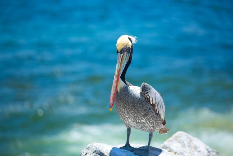 pelican . bird living on the ocean. America