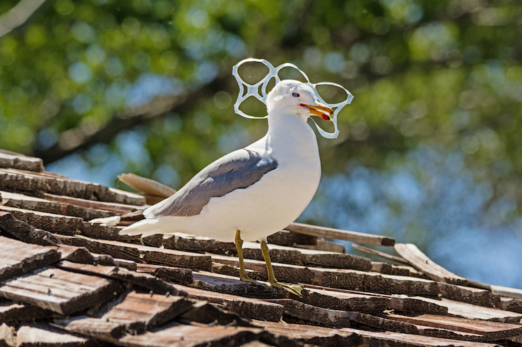 plastic, bird, six, pack, animal, sea, trash, caught, holder, gull, litter, rings, wildlife, pollution, head, waste, roof, beak, garbage, six-pack, trapped,