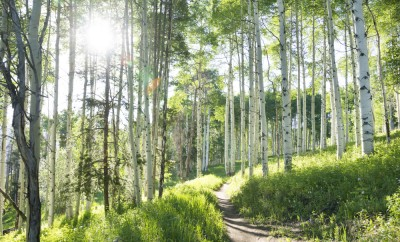 A beautiful summer hiking trail through an Aspen Tree grove on Vail Colorado ski resort mountain