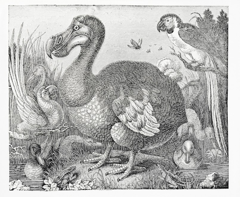 Engraving of dodo surrounded by parrots and ducks, from knight's pictorial museum of animated nature, published 1844