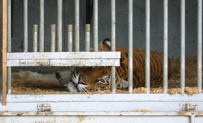 Locked up tiger in a circus caravan