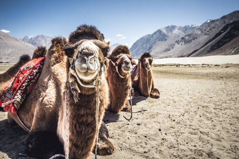 Three camels in a row in Nubra Valley, India