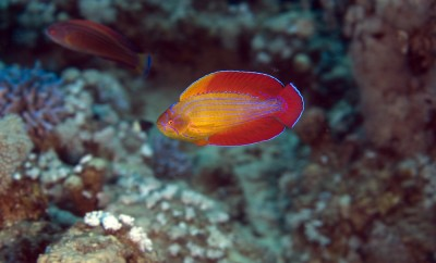 red sea flasher wrasse (paracheilinus octotaenia