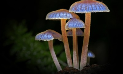 Luminescent mushrooms glowing in the dark of the Ranomafana rainforest of Madagascar