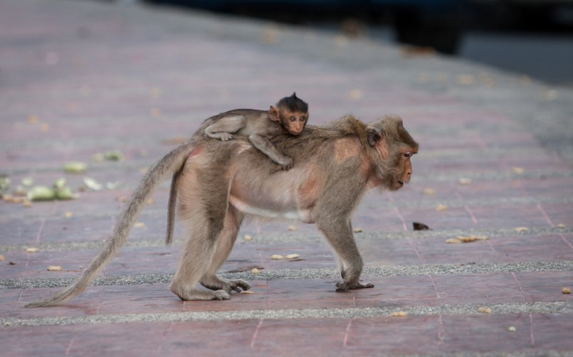 Street monkey with monkey baby on the back looking for food.