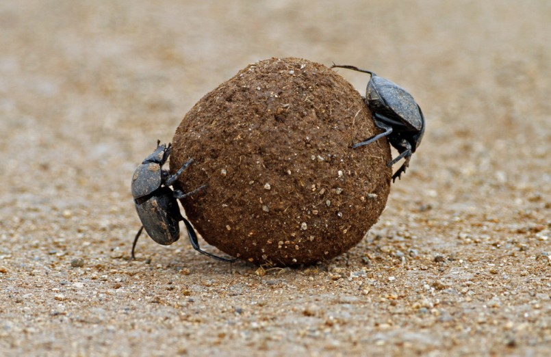 Two Dung Beetles on ball of elephant dung in Pilansburg national park