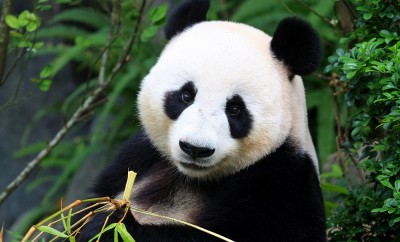 Panda Bear eating bamboo shoot