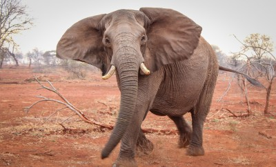 Single elephant charging on red sand, South Africa
