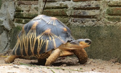 Portrait of radiated tortoise,The radiated tortoise ,slow life