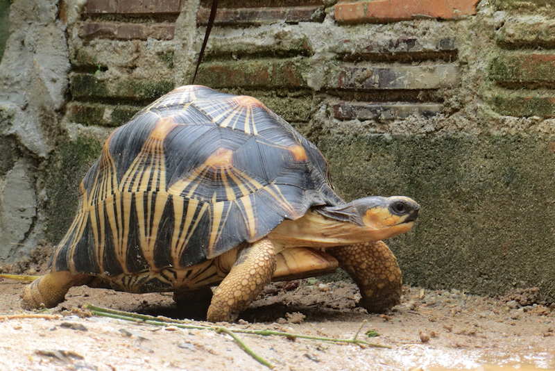 Portrait of radiated tortoise,The radiated tortoise ,slow life