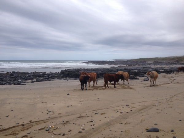 cattle on beach in africa