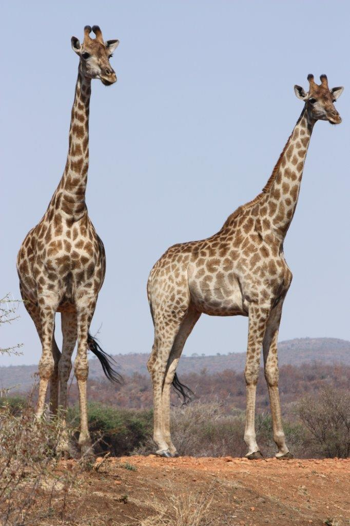 giraffes on african safari mosetlha bush camp