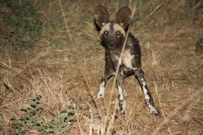 hyena wild dog at night african safari moseltha bush camp