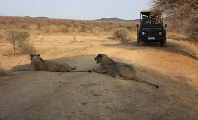 lions laying on desert african safari moseltha bush camp