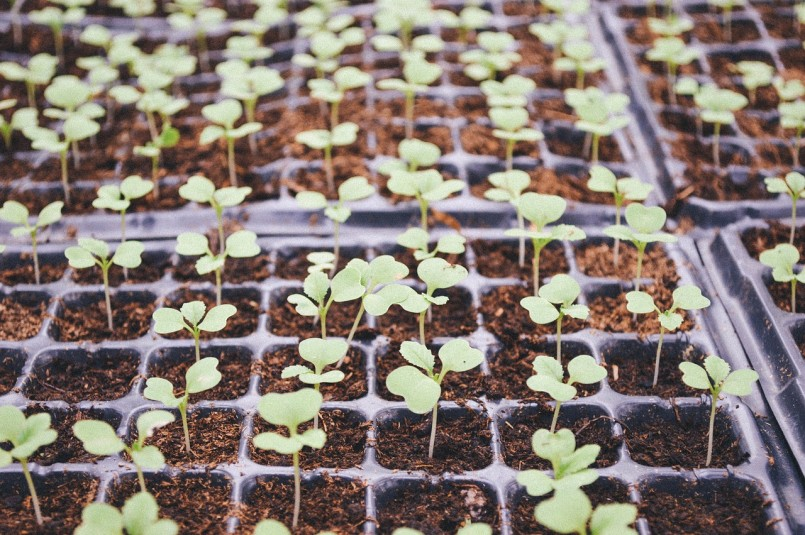 seed savers seedlings in plastic nursery pots