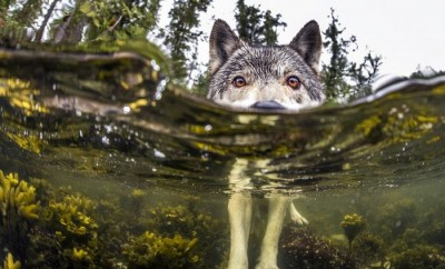 swimming-sea-wolves-pacific-coast-canada-ian-mcallister-5