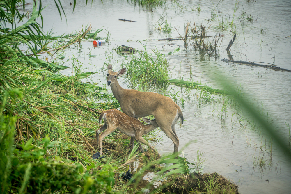 Baby deer and its mother during the flooding in Texas during Hurricane Harvey